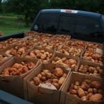 This is a truck full of white potatoes that was filled with volunteer labor in less than an hour.