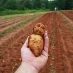 Potato Over Field